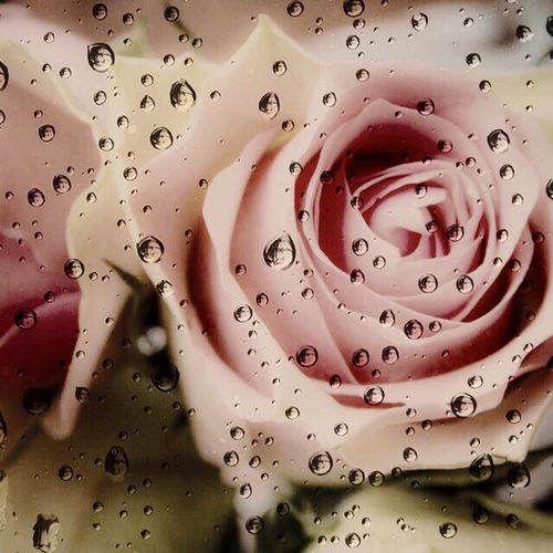 Roses Pink Rose Taking Photos Water Drops EyeEm Nature Lover Nature Rain Drops Pink Pink Flower Flowerporn