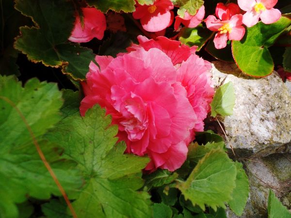 Photography Flower Flower Head Petal Pink Color Leaf Growth Nature Beauty In Nature Blooming No People Fragility Freshness Day Outdoors Close-up Rocks
