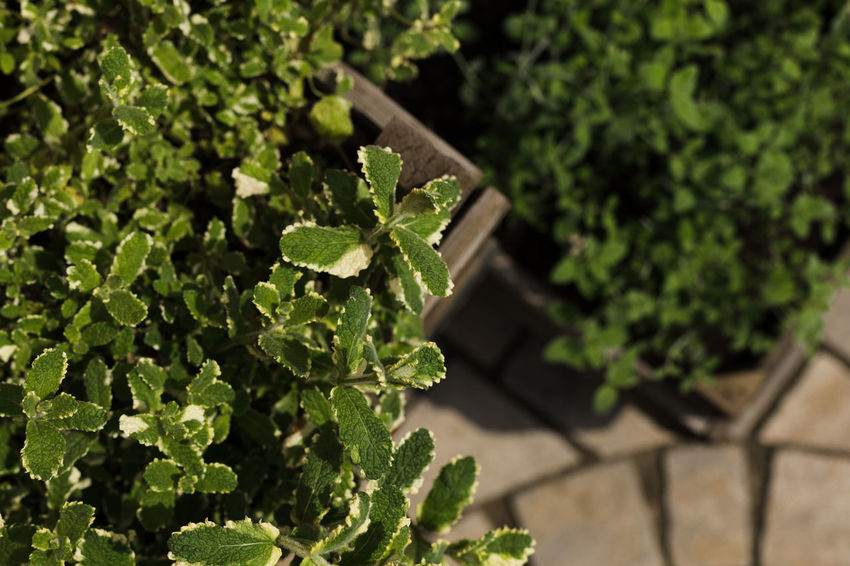 herb gardening Beauty In Nature Close-up Day Focus On Foreground Food Food And Drink Freshness Green Color Growth Herb High Angle View Leaf Nature No People Outdoors Plant Plant Part Potted Plant Selective Focus Shadow Small Sunlight