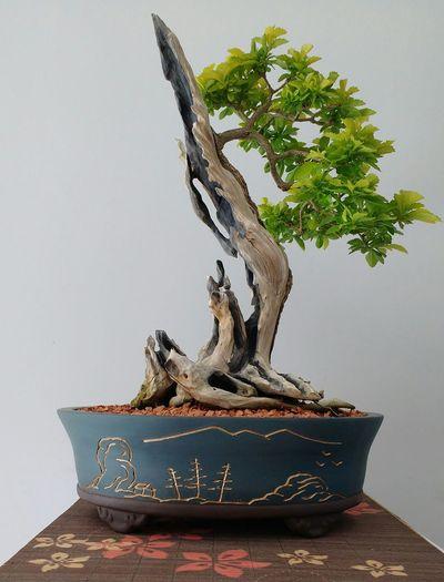Bonsai Sul de minas Bonsai Bonsai Tree Bonsai Sul De Minas Duranta Repens Pingo De Ouro Natureza árvores Art Arte Viva Bonsaibrasil