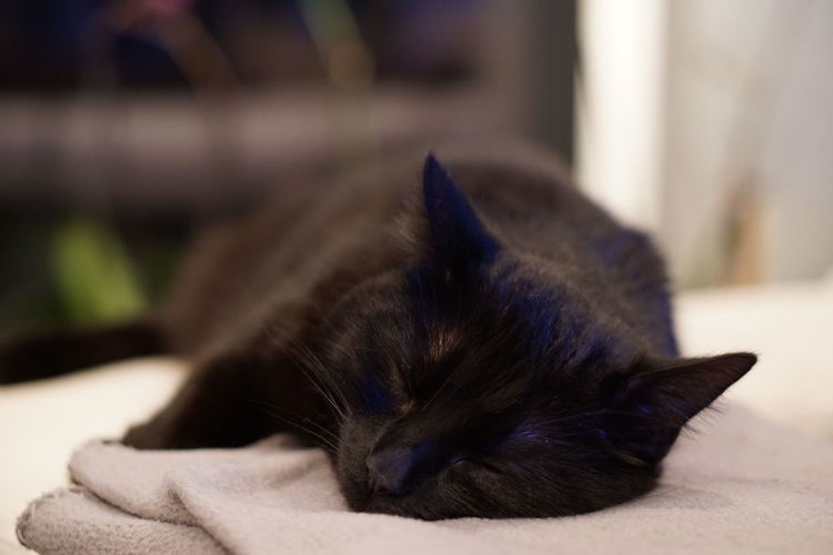 Cat Sleeping Domestic Pets One Animal Animal Themes Domestic Animals Animal Mammal Cat Domestic Cat Relaxation Feline Sleeping Focus On Foreground Close-up Resting Vertebrate No People Lying Down Indoors  Eyes Closed  Whisker Animal Head