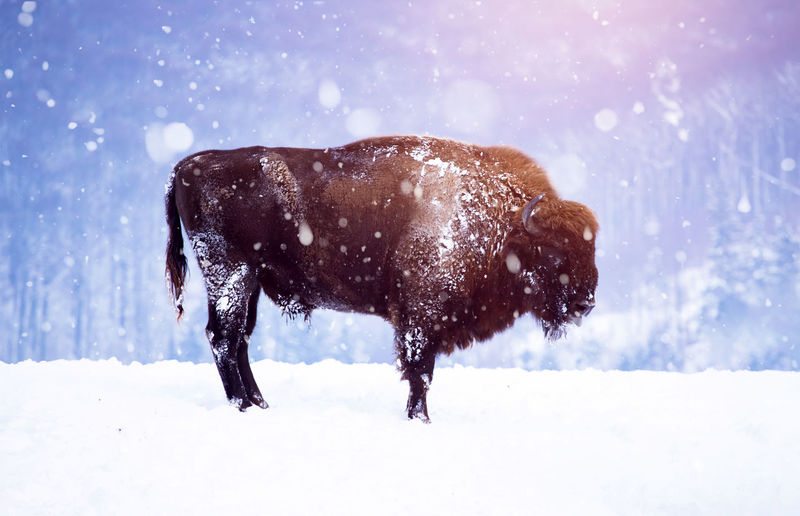 Bison standing on snow covered land
