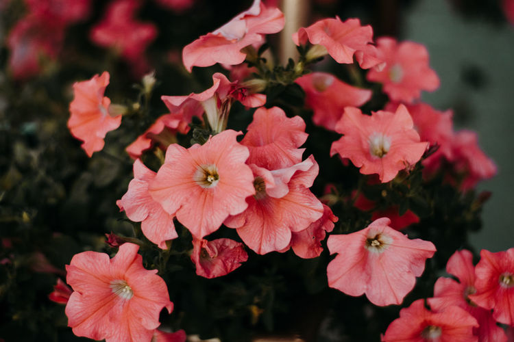 Flowering Plant Flower Vulnerability  Fragility Petal Flower Head Freshness Plant Inflorescence Growth Beauty In Nature Close-up Pink Color Nature No People Focus On Foreground Day Pollen Outdoors Botany Springtime Bunch Of Flowers