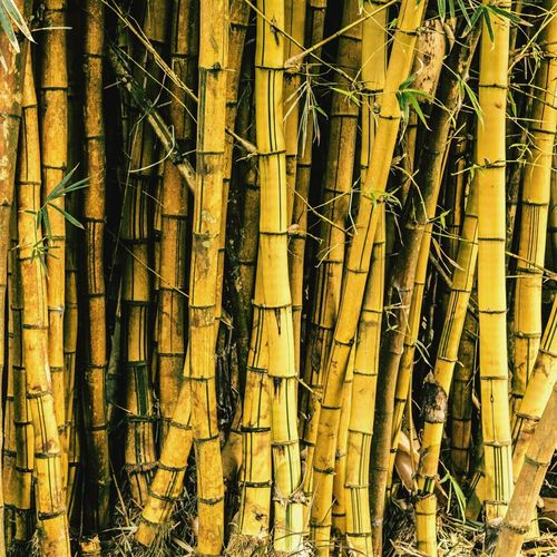 Some Bamboos! Bamboo Bamboo Art Bamboo Tree Bamboo Trees Nature Plant Plants Mauritius île Maurice  ASIA
