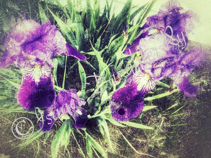 Iris. iPhone 6+ Nature IPhoneography Purple Flower Purple Iris Snapseed Editing