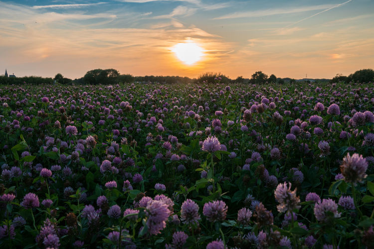 Flower Sunset Field Purple Cloud - Sky Plant Nature Agriculture Dramatic Sky Sun Sky Growth Botany Beauty In Nature Summer Landscape The Week On EyeEm Perspectives On Nature
