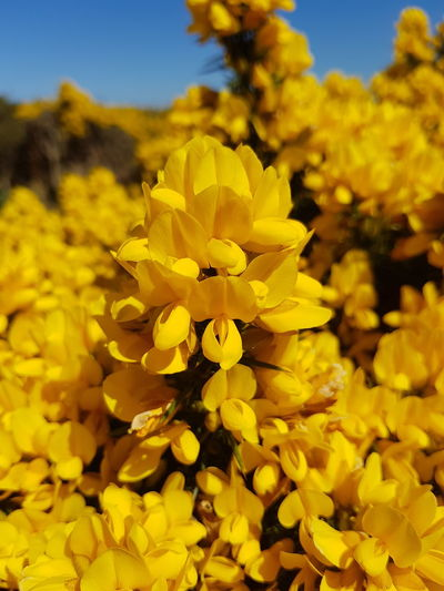 Carlingford Ireland May No Filter Close-up Gorse Flower Yellow Nature Petal Plant Flower Head Uncultivated Beauty In Nature Fragility Blossom Botany Wildflower Growth Outdoors No People Day Freshness Summer Alternative Medicine Sommergefühle Paint The Town Yellow Perspectives On Nature