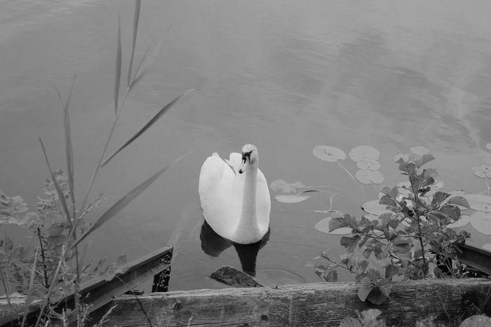 Alone Animal Themes Animals In The Wild Bird Black & White Black And White Blackandwhite Blackandwhite Photography Day One Animal Swan White Wildlife Xseries Xt1