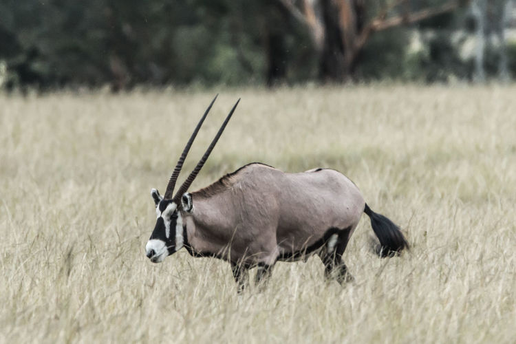 Animal Animal Themes One Animal Field Land Mammal Animal Wildlife Vertebrate Nature Plant Grass Day Animals In The Wild No People Domestic Animals Horned Selective Focus Herbivorous Oryx Oryx Antelope