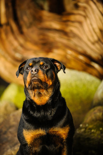 Rottweiler dog Canine Day Dog Natural Light No People One Animal Outdoors Pets Rottweiler