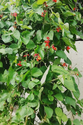 A BeanPlant . Perfect Background Picture due to the Leaves🌿 and Flowers 🌸🌸🌸 . Very Green Leaves Green Color and Red Flowers . Growth Plant Leaf Nature Outdoors Day No People Beauty In Nature Close-up Flower Freshness