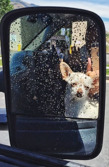 Waterdrops Mirror Chihuahua Dog Cute Pets