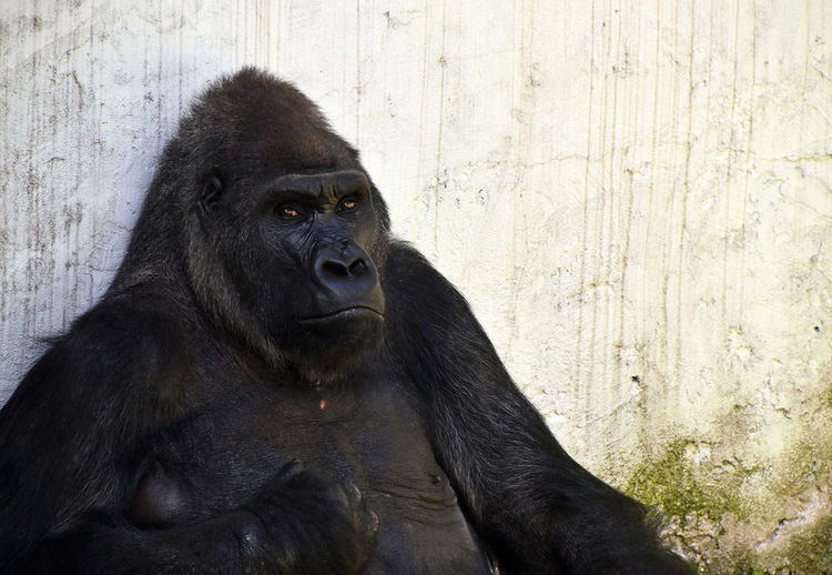 Gorilla against wall at zoo