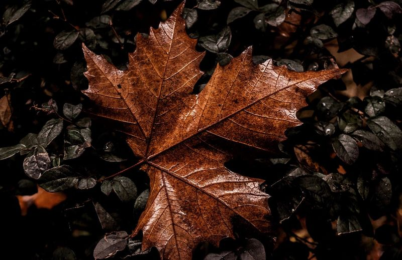 Maple leaves Leaf Plant Part Autumn Nature No People Change Close-up Dry High Angle View Outdoors Tree Leaves Full Frame Plant