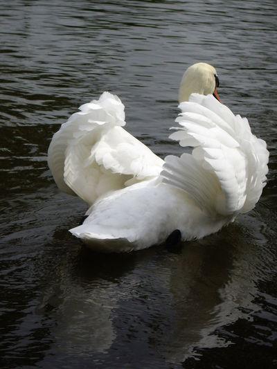 Swan Beautiful Nature Elegant Elégance Riverbird Riverbirds Riverviews Schwan  Stratfordswan Stratforuponavonswan Swan Swans Uglyduck Uglyduckling White Color Whiteswan