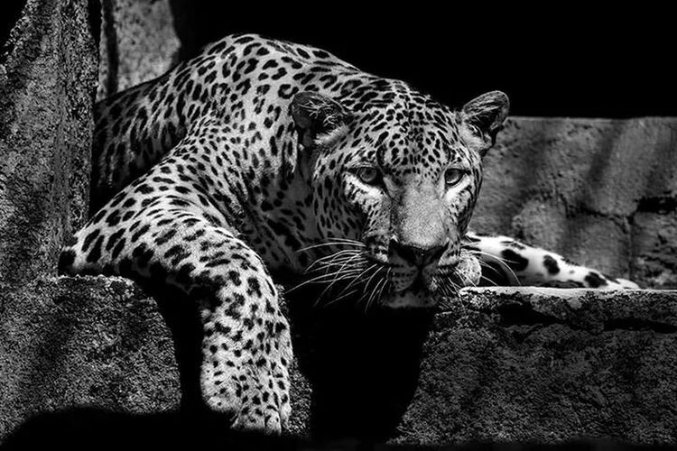 Macan tutul Eye For Photography Animal Photography Favorite Black And White Photography