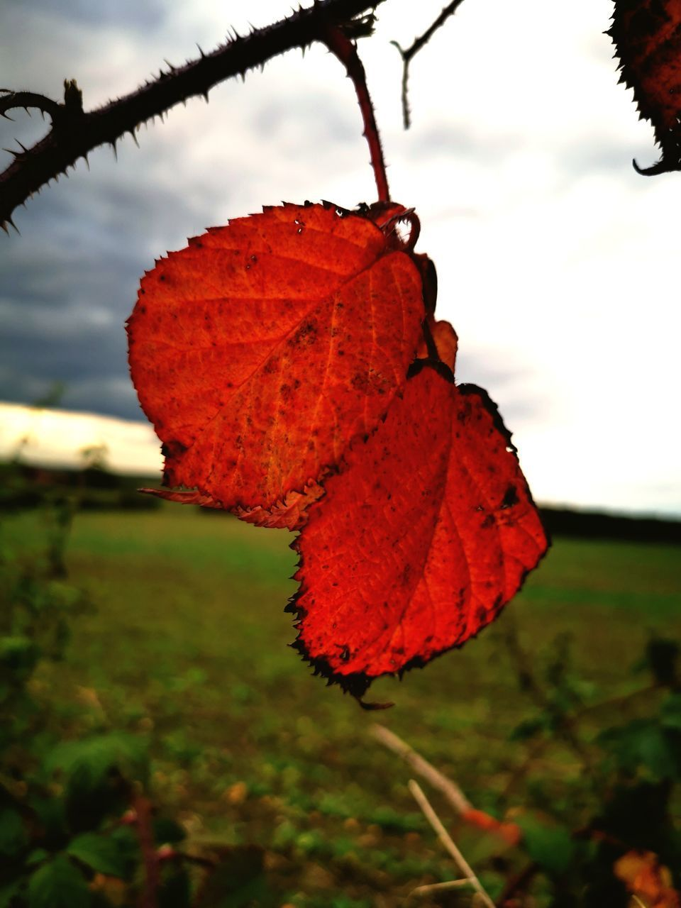 CLOSE-UP OF RED LEAF ON TREE AGAINST SKY