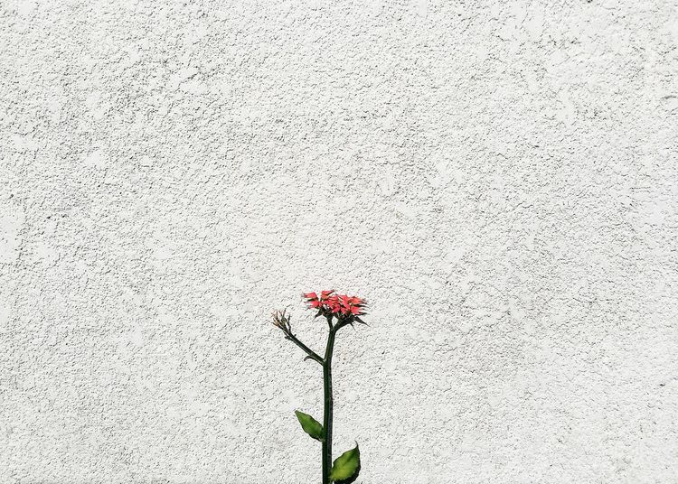 Minimal beauty Minimalist Photography  Flower Petal Fragility Nature Flower Head Poppy Growth Plant No People Red Freshness Day Blooming Outdoors