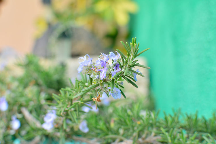 Beauty In Nature Close-up Day Flower Flower Head Focus On Foreground Fragility Freshness Green Color Growth Nature No People Outdoors Plant Rosemary Rosemary Flowers Rosemary Herb