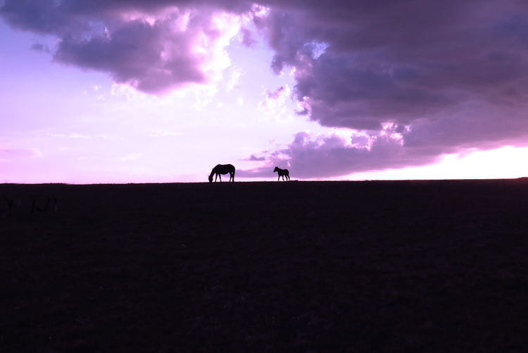 Horses silhouette on the top of a hill Freedom Horses Kyrgyzstan Two Horses Animal Animal Themes Animal Wildlife Beauty In Nature Cloud - Sky Domestic Domestic Animals Environment Field Horizon Land Mammal Nature No People One Animal Outdoors Purple Silhouette Sky Vertebrate