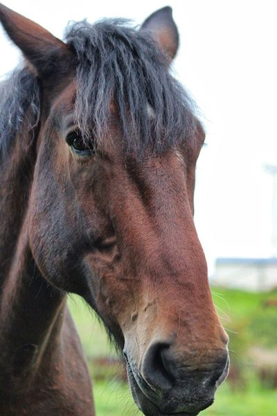 Horse Close-up Livestock Foal Animal Nose Animal Mouth Animal Ear Animal Eye Animal Head  Yawning