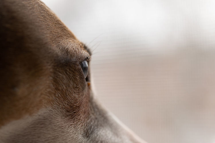 Italian greyhound sighthound closeup profile view of eye, gazing Animal Eye Profile View Animal Head  Close-up Gazing Sighthound Italian Greyhound Ludwig EyeEm Best Shots Vision Prey Waiting Looking At Camera Home Copy Space Time