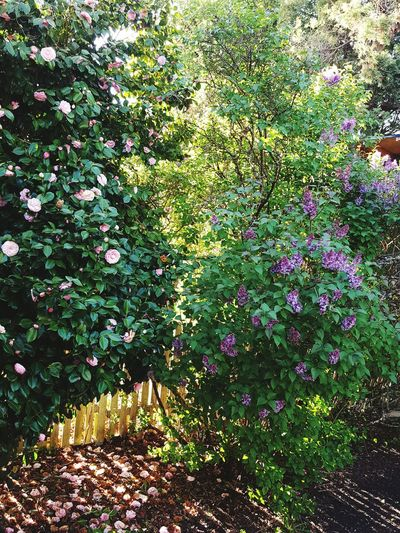 My barrier. Backyard Lilac Camellia Flowers Flower Collection Blooming Spring Pollination Allergies Tacoma_WA Ttown ProctorStreet Blossom
