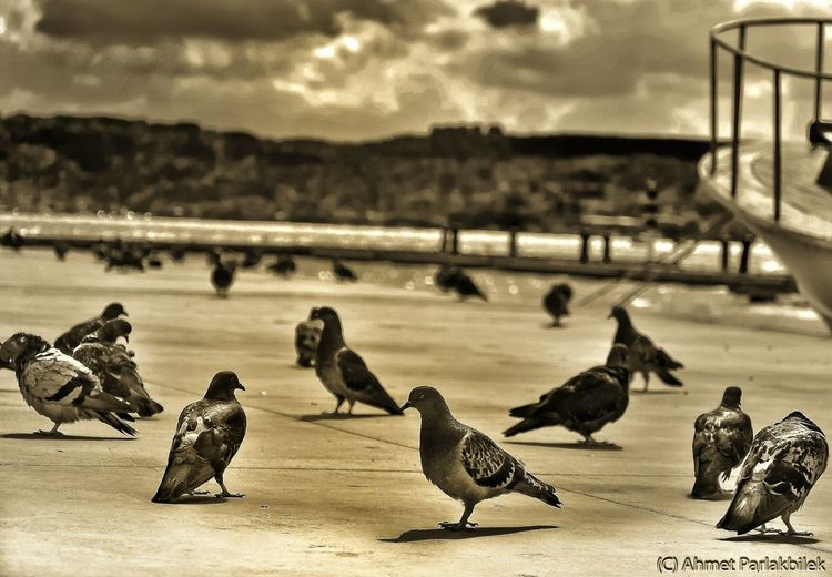 Resting Pigeons near Bosphorus Enjoying The Sun Taking Photos Photoshoot Birds...