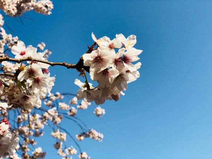 Plant Flower Flowering Plant Fragility Vulnerability  Freshness Sky Tree Growth Low Angle View Nature Blossom Cherry Blossom Beauty In Nature Branch Clear Sky Springtime Day Petal Blue