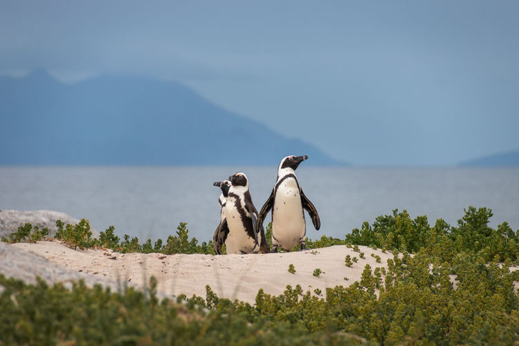 African penguins at sandy boulders beach colony in cape town, south africa