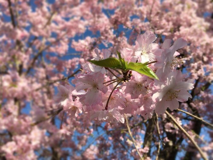 Kyoto Sakura 2017 Kyoto,japan Kyoto Sakura Kyoto Spling Cherry Blossoms Sakura