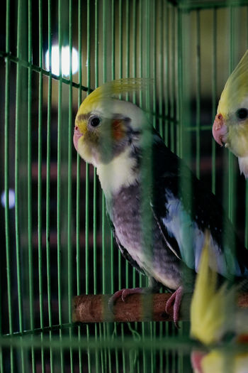 Animal Animal Themes Bird Vertebrate Cage Group Of Animals Animal Wildlife Birdcage Animals In Captivity Two Animals Parakeet Parrot Indoors  Close-up Budgerigar Domestic Pets No People Animals In The Wild Bird Market Jakarta Bird Market Traditional Marketplace Traditonal Market Illegal Activity Bird Hunting  Catching Birds Hobbies Hobby Bird Lover