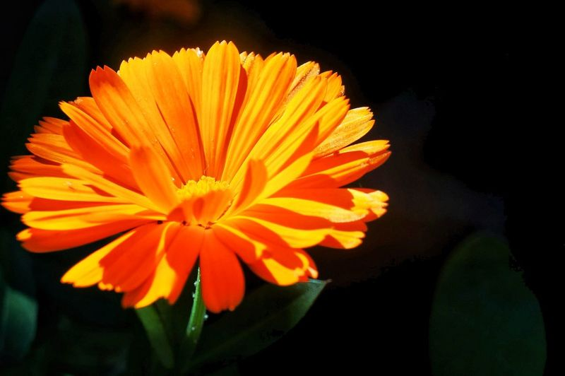 Calendula al sol Flower Orange Color Close-up Macro Outdoors Vibrant Color