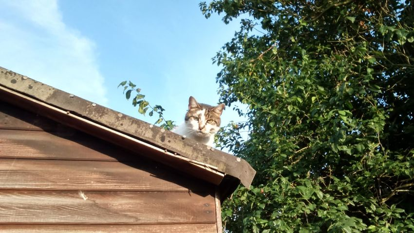 Landscape Cat On A Roof Cat On The Roof Up High On The Edge EyeEm Cat Cat Of EyeEm Feline Cloud Blue Sky Domestic Cat Cat Cat Photography Animal Themes Tree Bushy Tree Wood Shed Wooden Shed Neighbourhood Cat Random Cat Happy Caturday Caturday Cat Of The Day Leaves