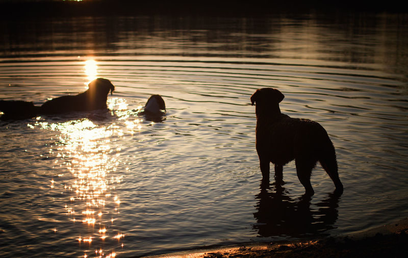 EyeEm Selects Water Animal Animals In The Wild Reflection Animal Wildlife Silhouette No People Sunset Lake Mammal Outdoors Nature Living Organism Swimming Day Animal Themes Dogs Dog