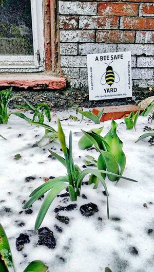 Spring...undeterred ~ nature lover Text My Unique Style Nature Lover Text Spring Flowers Happiness Snow Beauty In Nature Colorof Life Tranquility No People In Portland Maine USA Nature_perfection Nature Lover Daffodils In The Snow Springtime Green Growing Plant Life Young Plant Leaves Full Frame