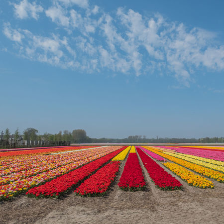 Bollenstreek, Tulip Wonderland Field Nature Clouds Colours Of Nature Flower Outdoors Sky Spring Tulip