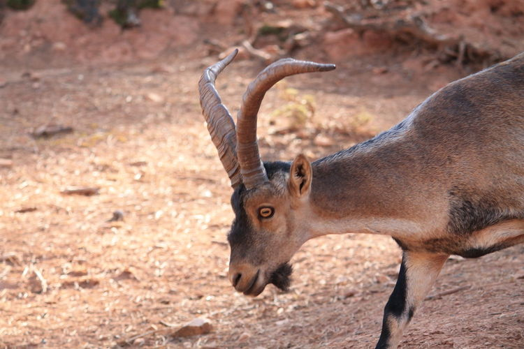 Cazorla Nature Reserve X Jaén Nature Nature Photography No Filter, No Edit, Just Photography Animal Animal Themes Animal Wildlife Animals In The Wild Antelope Cazorla Close-up Day Nature Nature_collection Naturelovers No People One Animal Outdoors Safari Animals