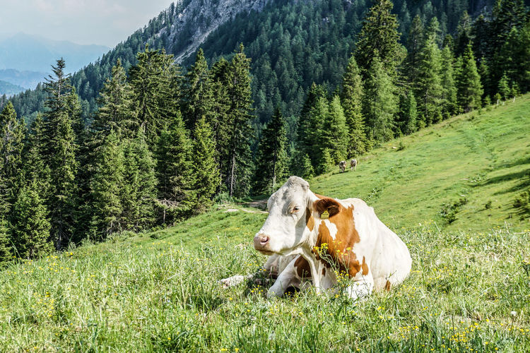 Cow in a field, alps.