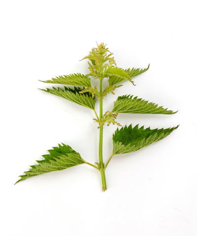 nettle Airone Antioxidant Close-up Day Freshness Green Color Herbal Medicine Leaf Nature Nettle No People Plant Plant Seeds Stinging Nettles Studio Shot