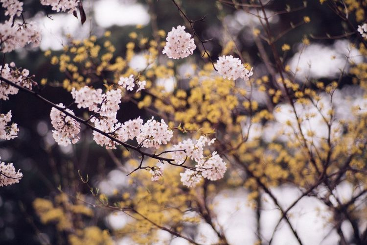 Cherry Blossoms Nature Flower Spring Flowers Bokeh Photography CarlZeiss Planar 85/1.4