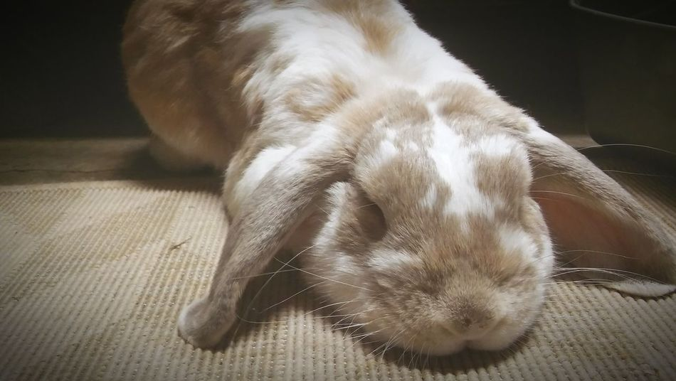 Hollandlop Bunny 🐰 Bunny Love Sleepybaby Spoild Domestic Animal Bunnies ❤️ Best Pet Sleepaward Cutest Tags... One Animal Animal Themes Domestic Animals Pets Dog Indoors  Mammal Relaxation Animal Head  Close-upLying Down Resting Loyalty Animal Focus On Foreground Whisker