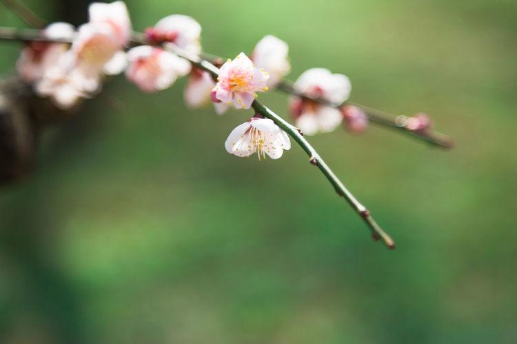 大阪城梅林 Japan Japan Photography OSAKA Flower Head Flower Branch Springtime Blossom Petal Insect Close-up Plant Plum Blossom
