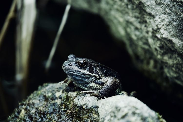 EyeEm Best Shots EyeEm Nature Lover EyeEmNewHere Frog Nature Relaxing The Week On EyeEm Amphibian Animal Themes Animal Wildlife Animals In The Wild Close-up Day Frog On A Rock Nature No People One Animal Outdoors Pond Life Reptile Ribbit Rock - Object