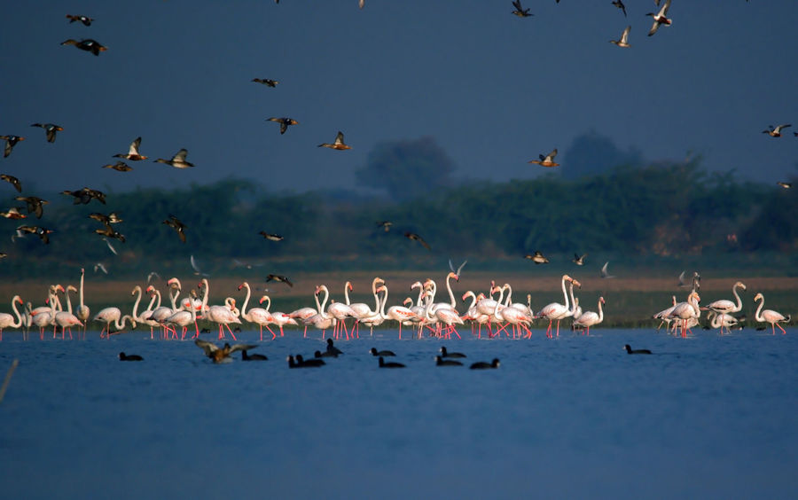 group of flamingos and other migratory birds searching food in shallow water lake in winter morning Beauty In Nature Birds India Nature India Migratory Birds Nature Wildlife Wild India Asian  Wildlife & Nature Animals In The Wild Large Group Of Animals Flying Water Lake Birds Of India Winter Birds Birds In The Wild Group Of Birds Cool Atmosphere Flamingos Morning Light Shallow Water Blue Water Pond Winter