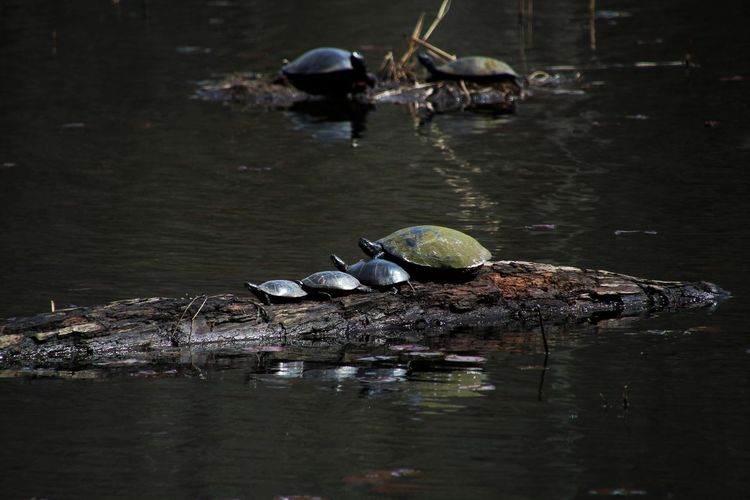 Turtles in river