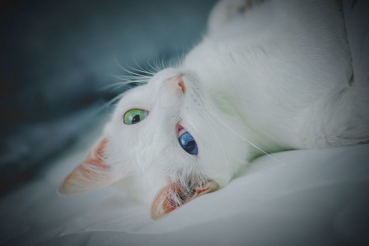 Close-up of a white cat with beautiful eyes