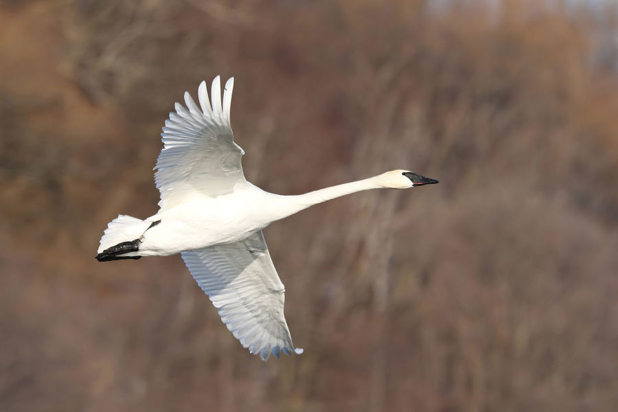 Trumpeter Swan EyeEm Best Shots EyeEm Nature Lover EyeEmBestPics Animal Themes Animal Wildlife Animals In The Wild Bird Close-up Day Eye4photography  Flying Focus On Foreground Mid-air Nature No People One Animal Outdoors Spread Wings Trumpeter Swan White Color