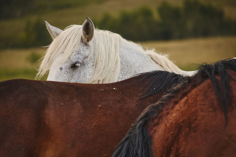 Feral horses, a white horse peaking over the back of another one.