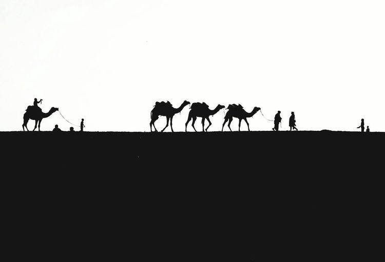 Camels Exodus, Rajashtan India Silhouette Outdoors Eyem Best Shots Street Photography Monochrome Exodus Blackandwhite Desert Travel Photography Finding New Frontiers Black And White EyeEm Gallery